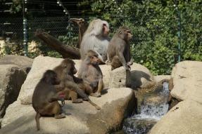 baboons-424281_1920