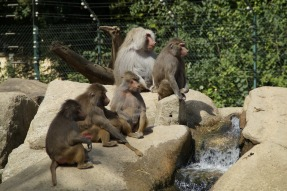 baboons-424281_1920