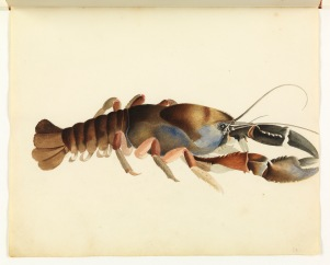 Sketchbook_of_fishes_-_34._Fresh_water_crayfish_William_Buelow_Gould,_c1832