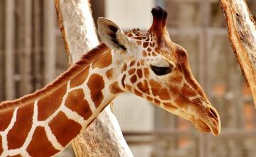 giraffe-3316370_960_720