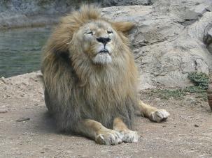 lion-1145307_960_720
